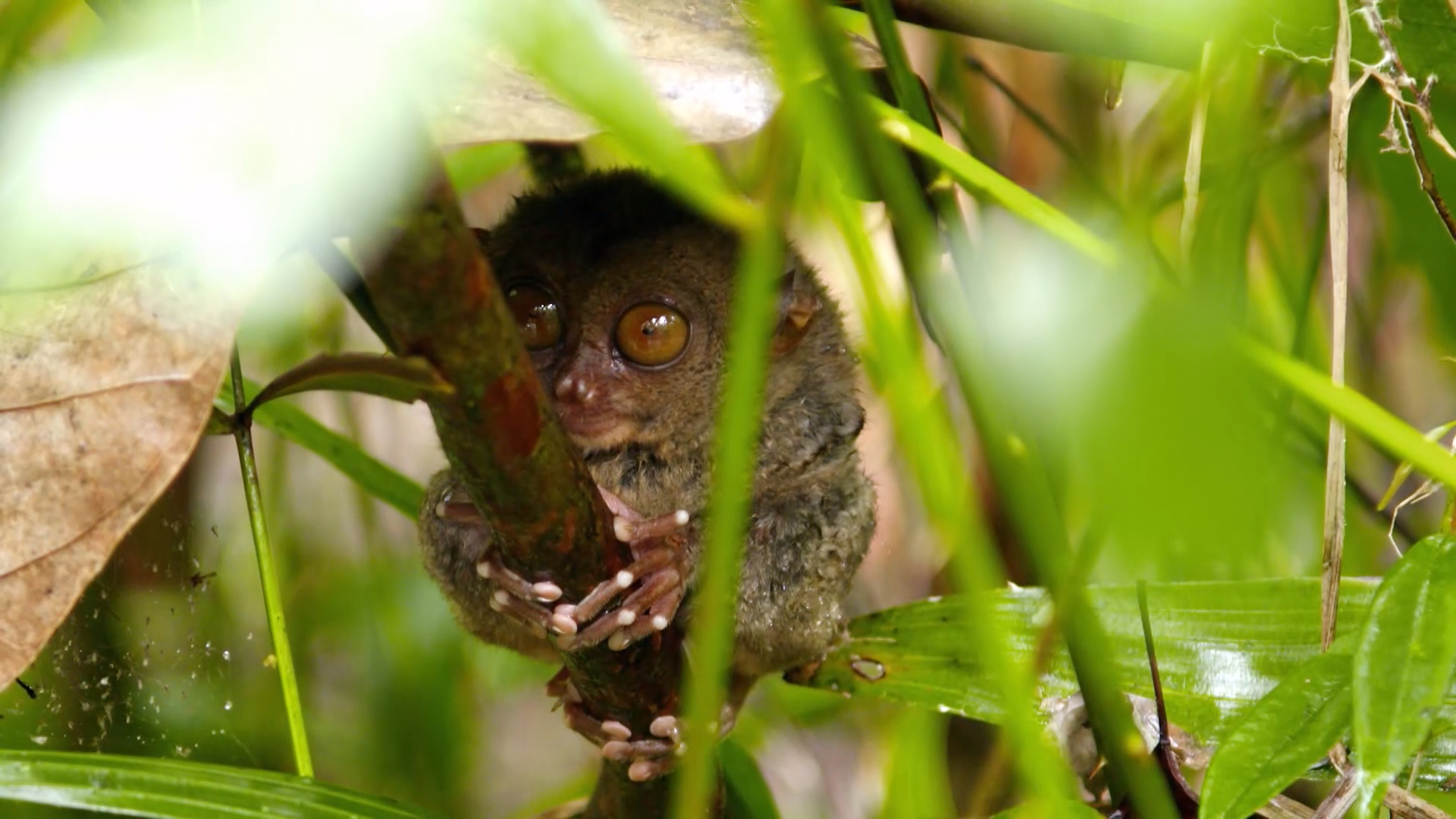 The Guides search for tarsiers