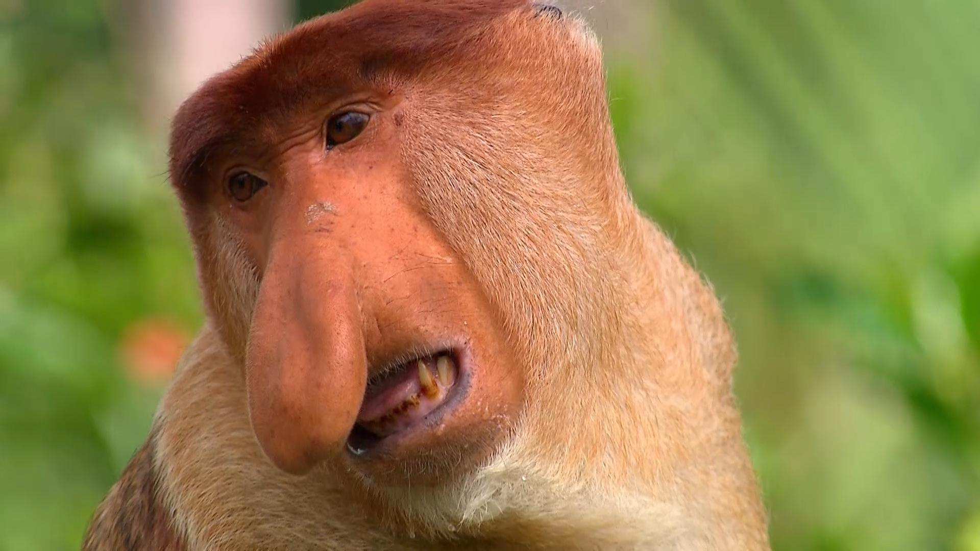 Proboscis Monkeys, Malaysia