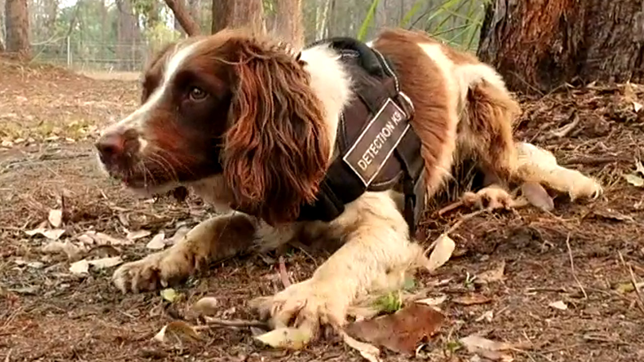 Meet the very good girl saving our injured koalas