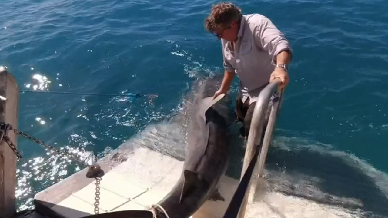 Moment massive tiger shark is caught by scientists