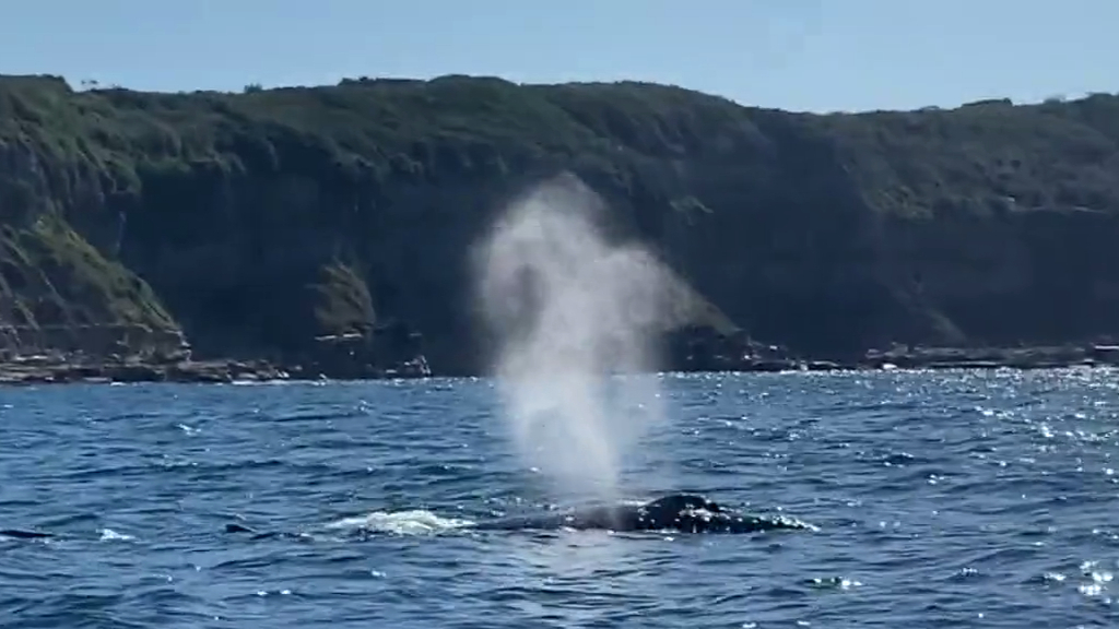 Fishing mates rescue stuck whale