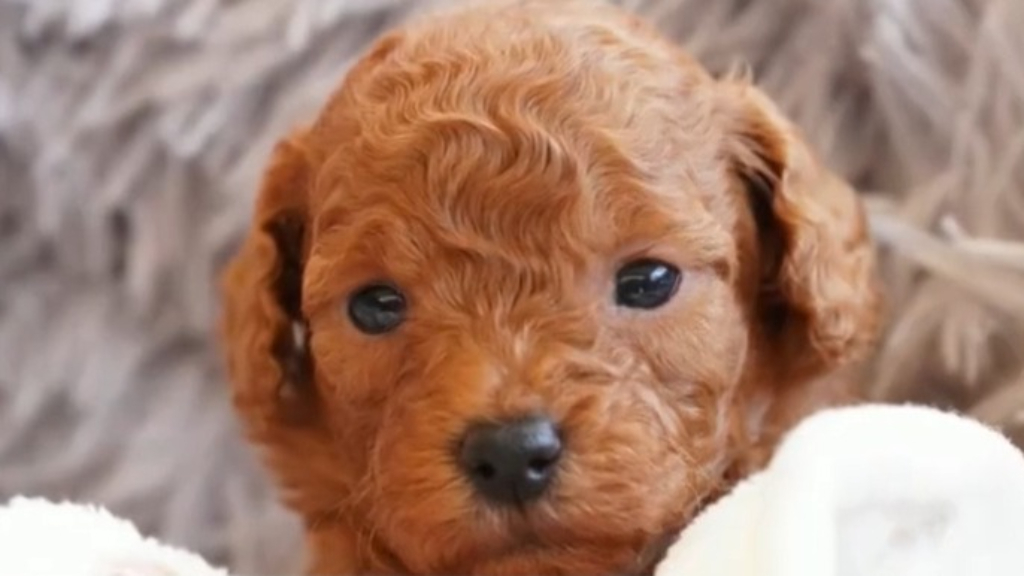 Warning over 'puppy scams'