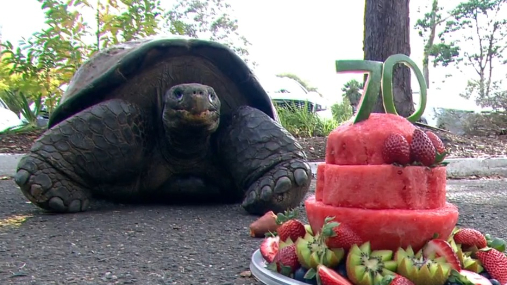Australia's most famous tortoise celebrates 70th birthday